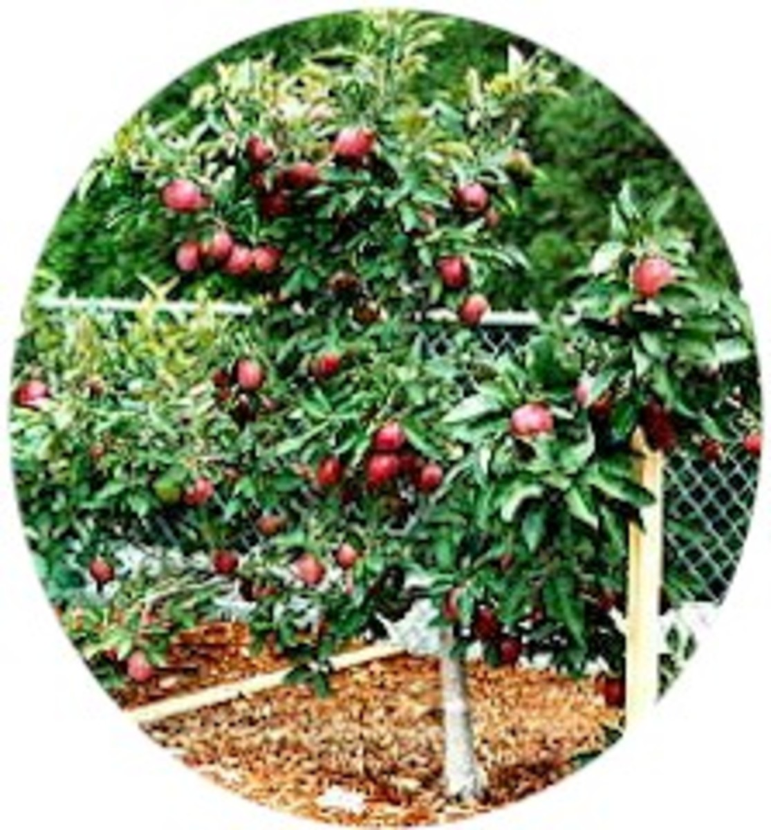 Resources dwarf fruit trees in the home orchard tree fruit in the home