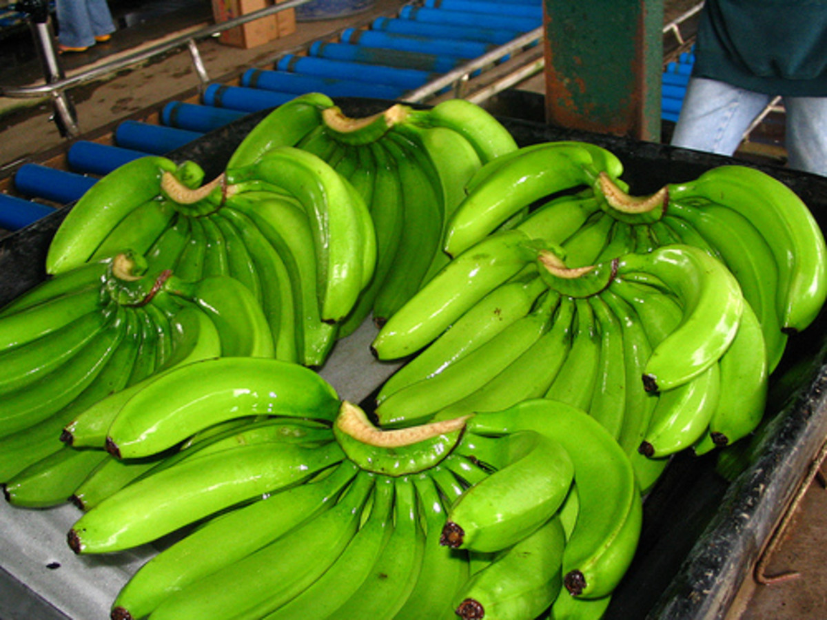 Green Cavendish Bananas (Photo courtesy by aim_inc_ph from Flickr)