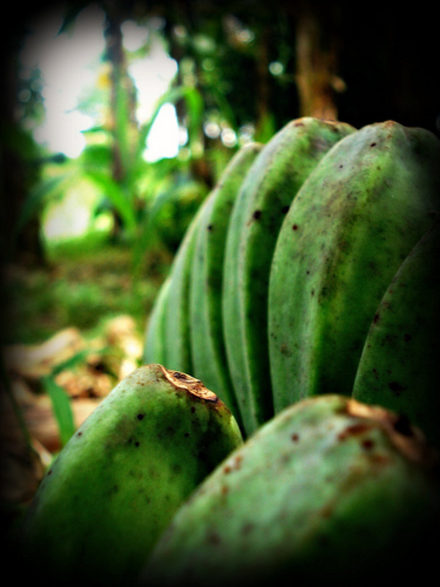 Green and Unripe Plantain Bananas (Photo courtesy by tacit requiem from Flickr)
