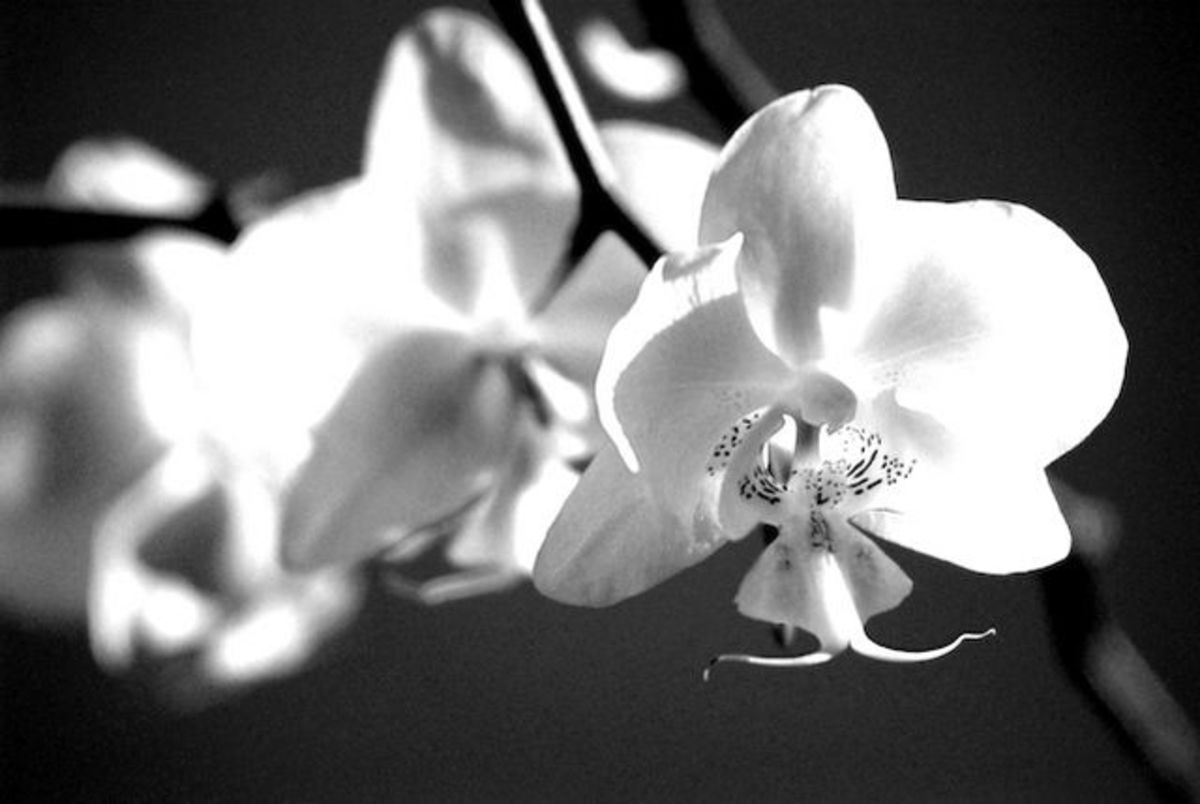 black and white orchid photo