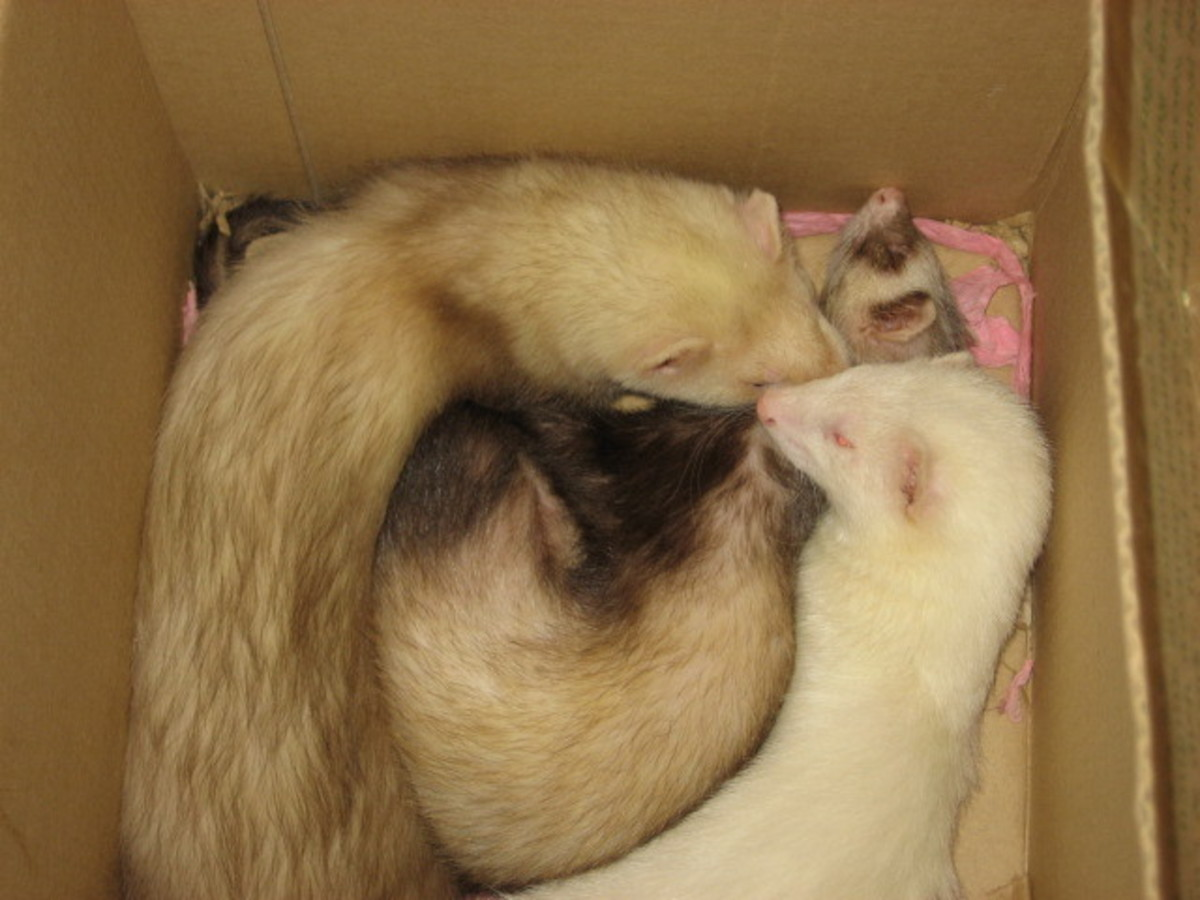 Ferrets Love Boxes!
