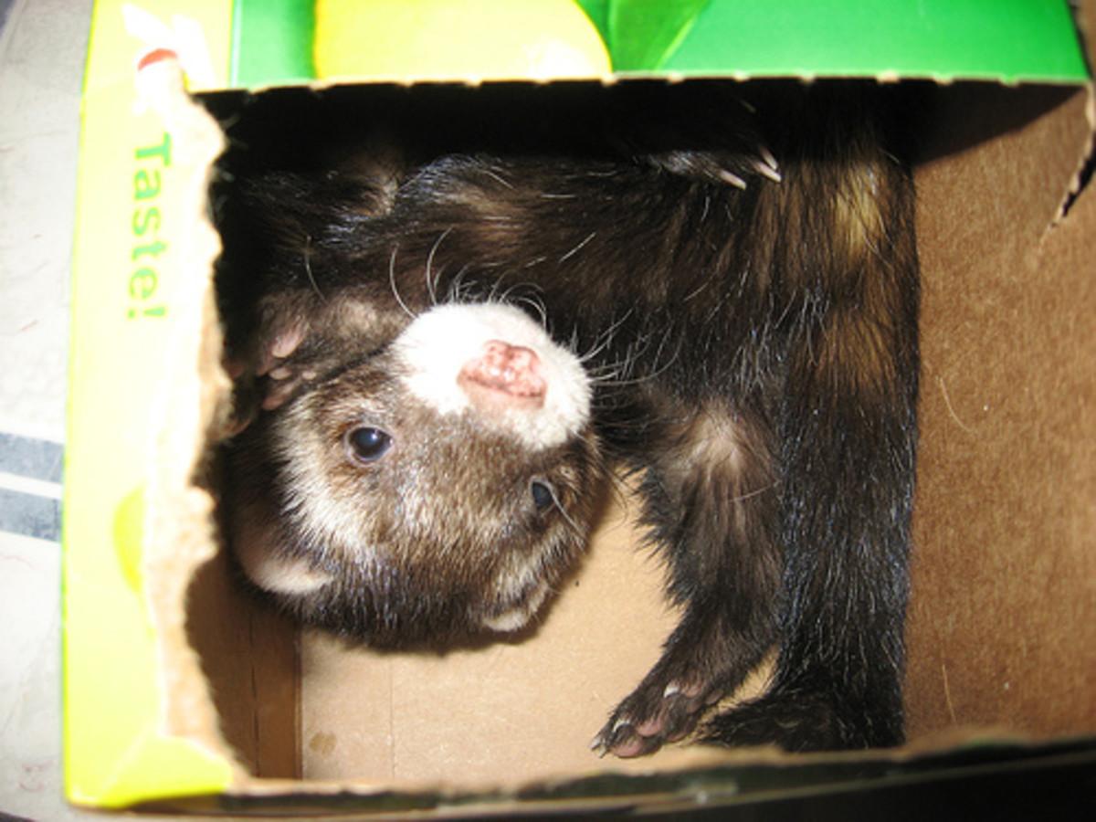 Ferrets Love Soda Boxes