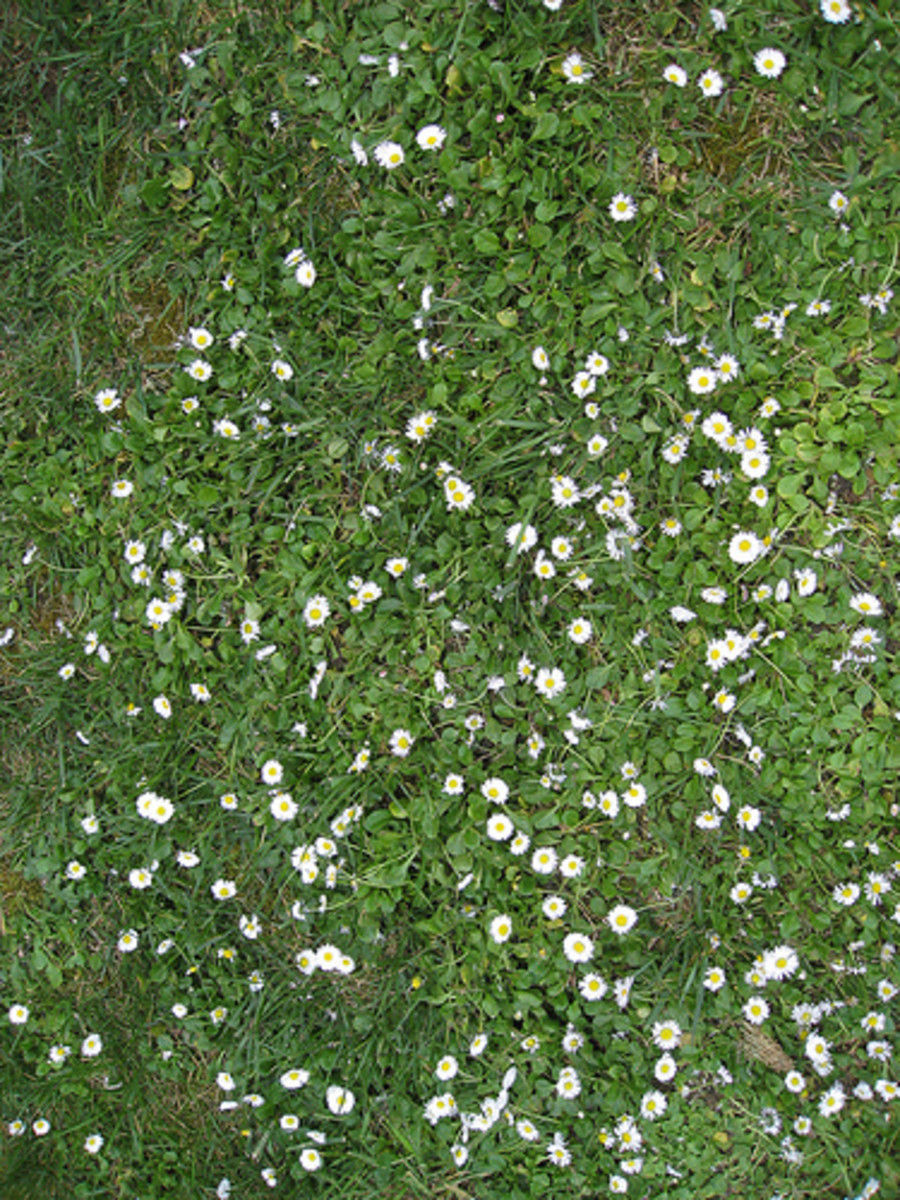 Lawn with Smal Flowers (Photo courtesy by shaire productions from Flickr.com)
