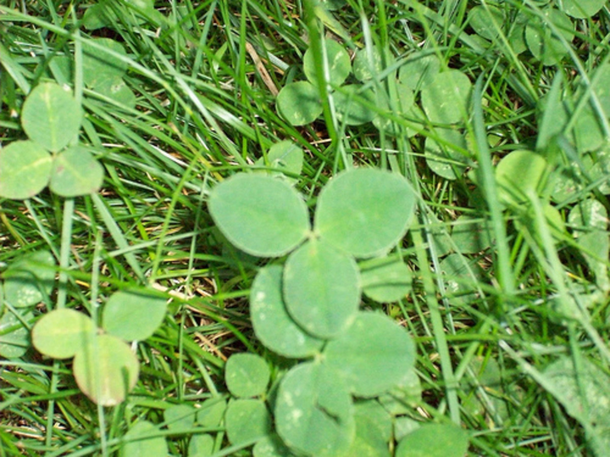 Clover (Photo courtesy by Alexcion from Flickr.com)