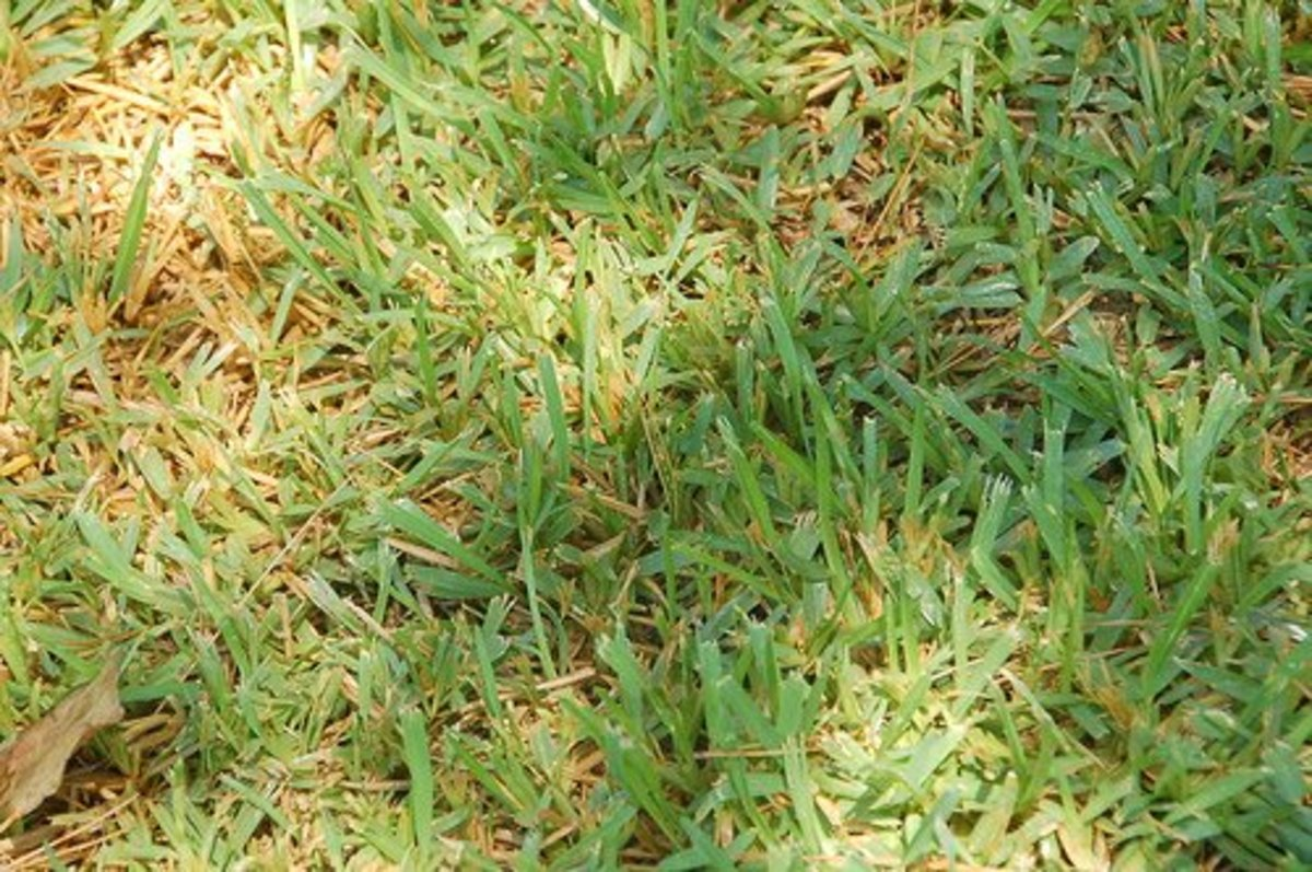 Buffalo grass (Photo courtesy by RobW_ from Flickr)
