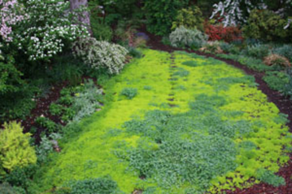 Sedum Acre and Clover (Photo courtesy by Sustainable Gardener from Flickr.com)