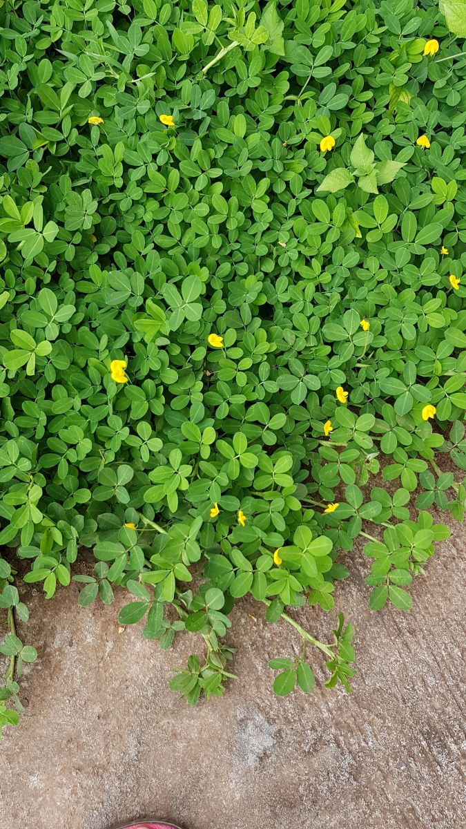 The Peanut Plant is not a grass but it makes good ground cover.