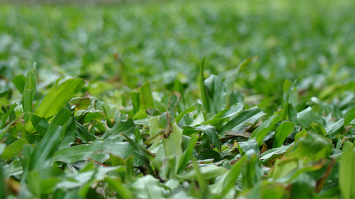 Carabao plants tend to grow close to soil. (Photo courtesy by ryry17 from Flickr)