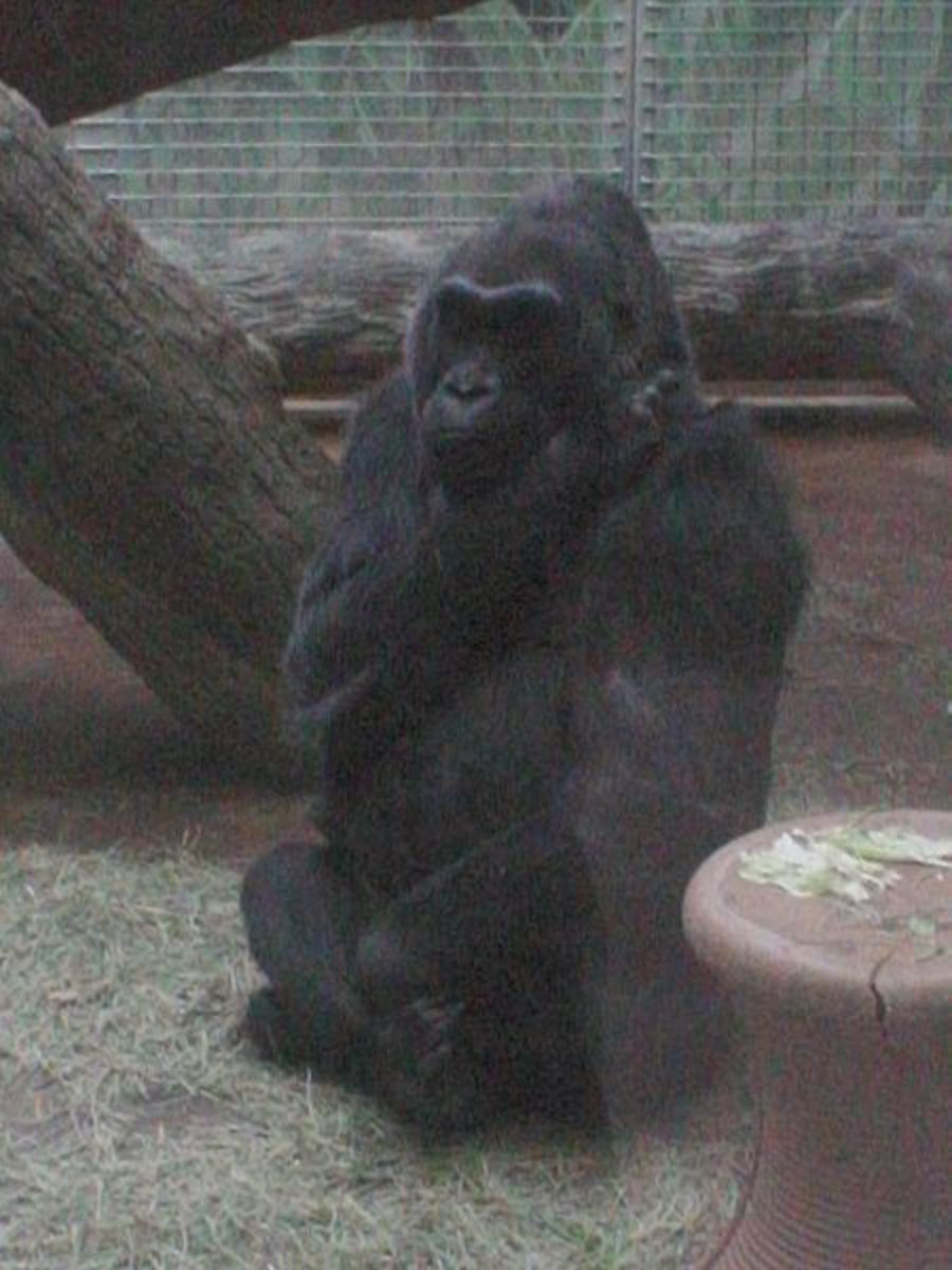 Colo, the first gorilla born in captivity anywhere in the world, pictured  in 2009.