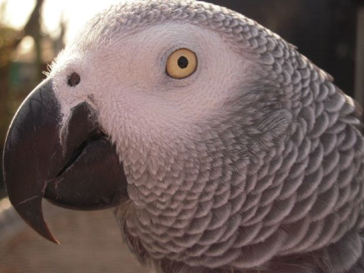 Alex, The Famous Talking African Grey Parrot, Has Passed Away But His Legacy Lives on