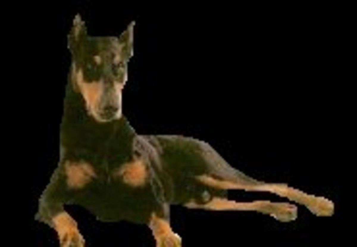 Black & tan Doberman with cropped ears - just chilling out.