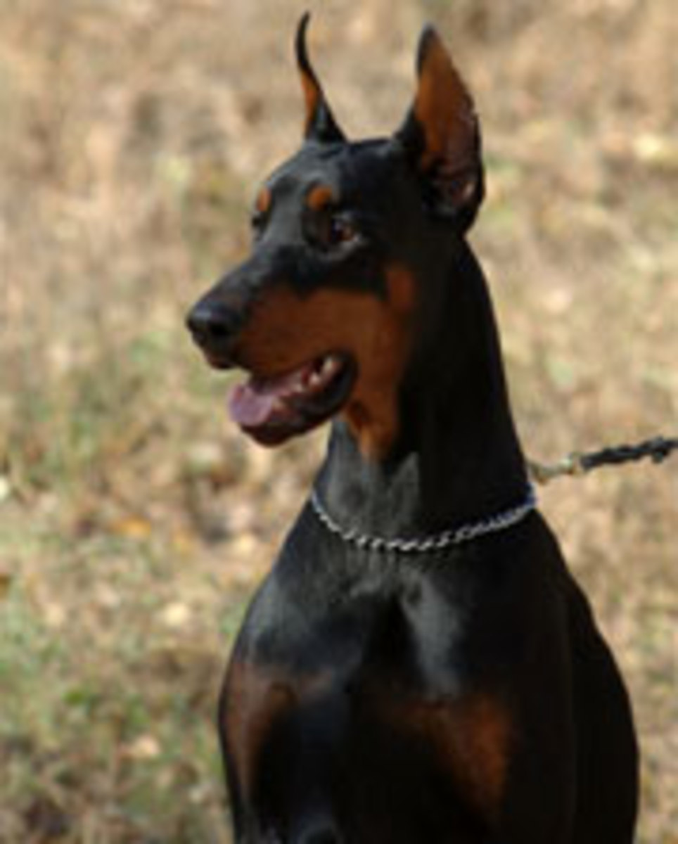 "Black and tan Dobie with cropped ears, sometimes considered to look ""scarier""."