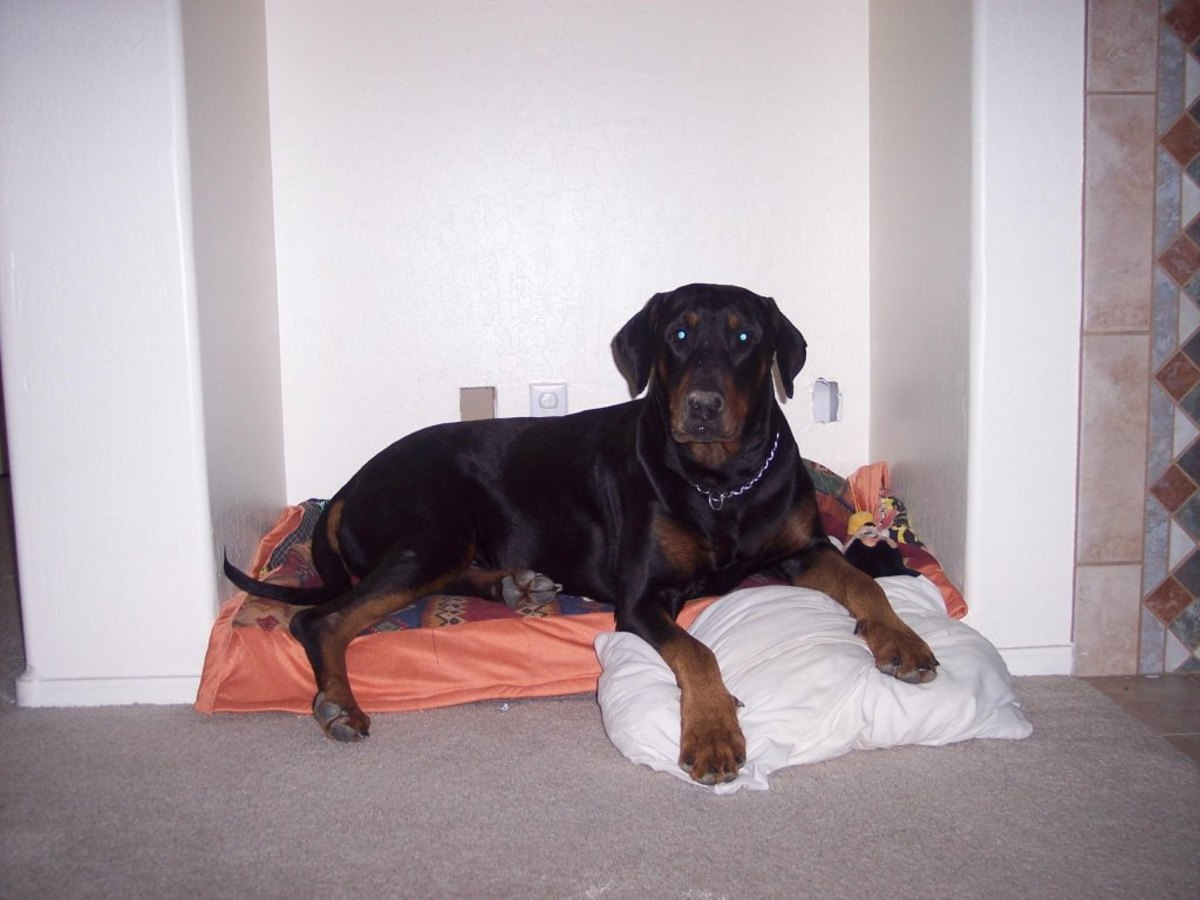 A Dobie in its bed with uncropped ears and undocked tail looking right at home!