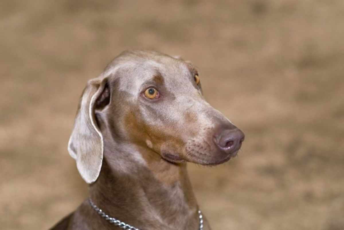 This Doberman has the color known as Isabella or fawn.