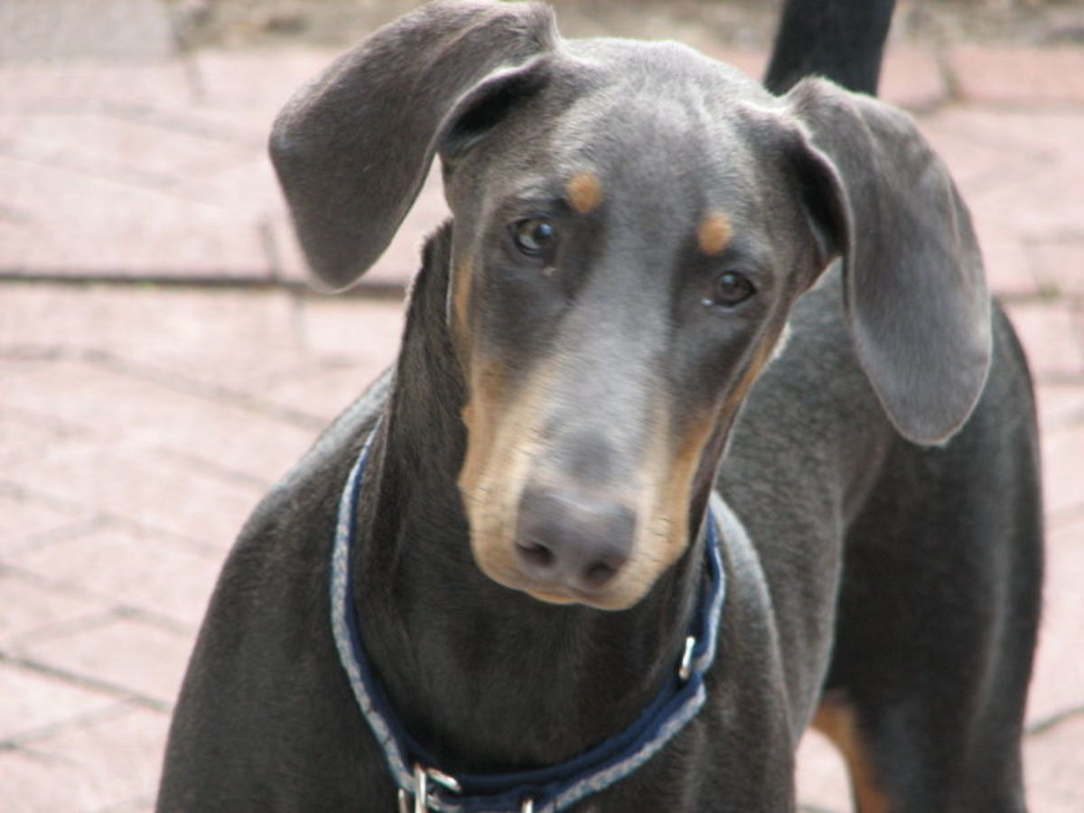 Ginger, a Doberman showing the blue color, owned by Andreas Kolleger