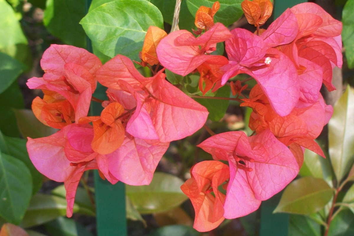 The bracts of this bougainvillea open copper, turn a deep cerise pink and fade, giving a multicoloured look to the plant.