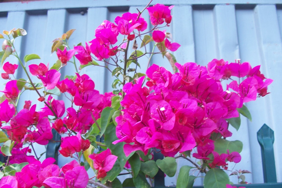 During summer months bougainvilleas make a lovely display,they flower non-stop and grow new shoots profusely.