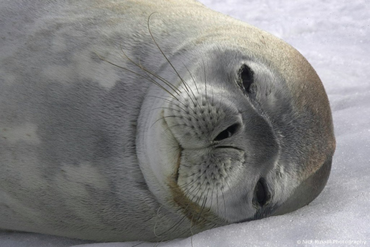 A napping Weddell Seal awaits Christmas in Antarctica.