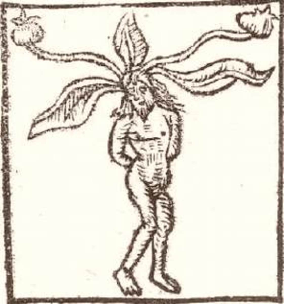 Medievel depiction of a mandrake root.