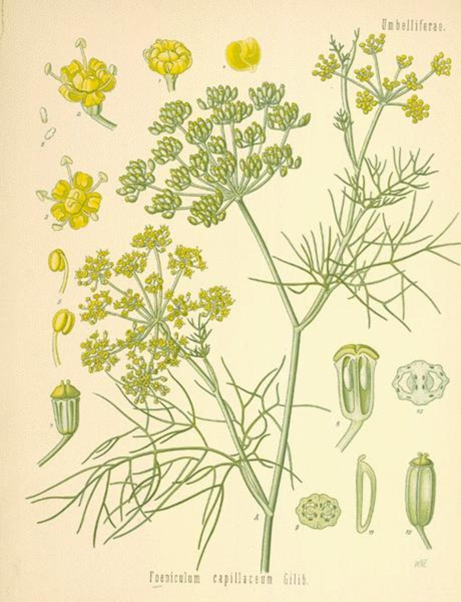 Fennel is a common spice and herb used to treat all sorts of ills.