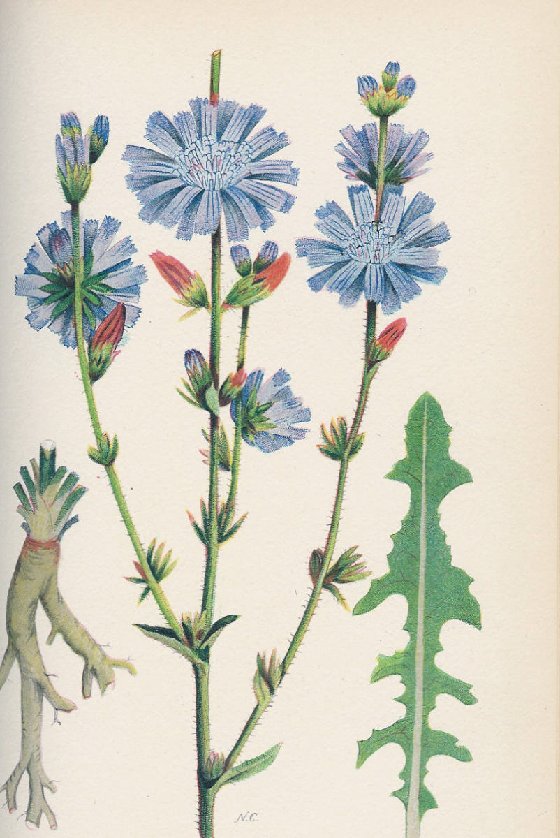 Wild Chicory has long been used in teas to aid in healing.