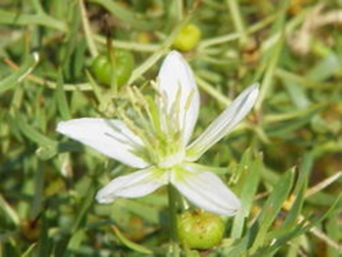 Syrian Rue is a flowering plant that causes intoxication much like drunkenness with the added effect of hallucinations.