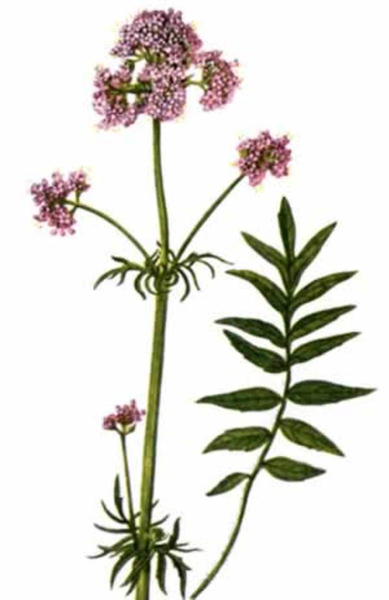 Valerian root has a catnip-like effect on both cats and rats and can be used to treat insomnia in people.
