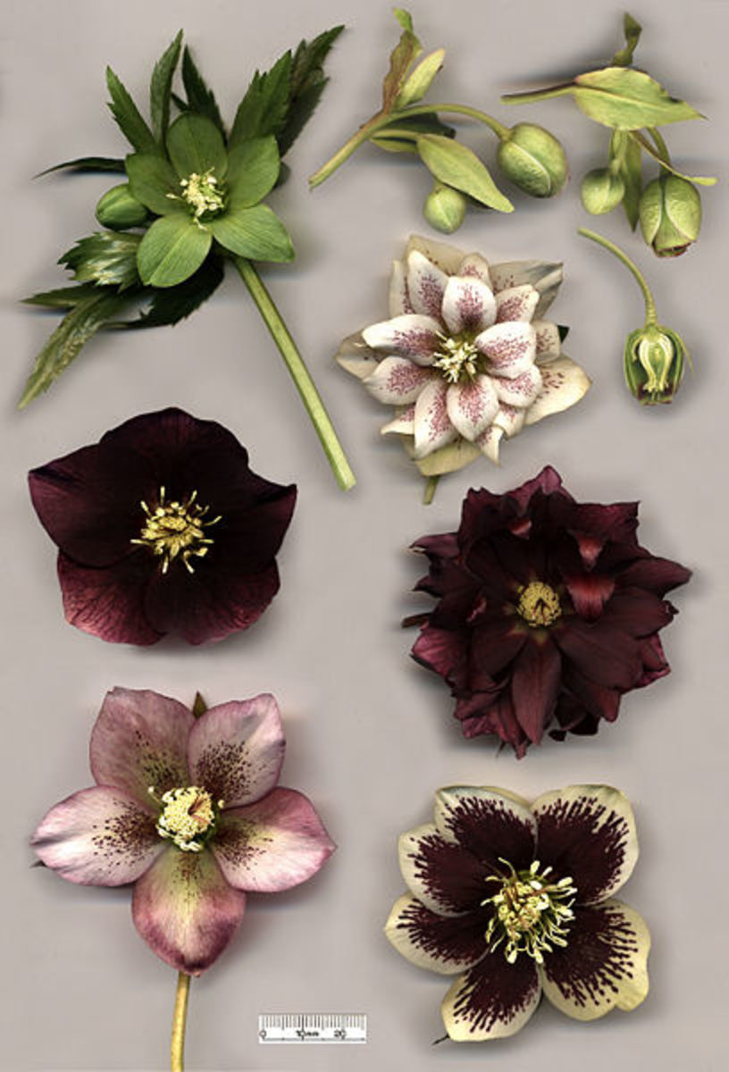 When used correctly Hellebore can be used to induce vomiting - used incorrectly it can easily kill.