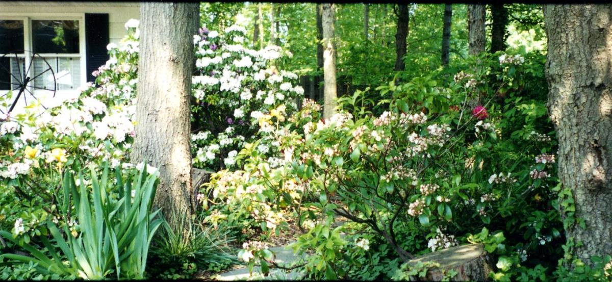 Springtime in a shady garden-profusion of azaleas, rhododendrons, and mountain laurel. When these flowers fade, the 4-o'clocks bloom with a profusions of yellow.