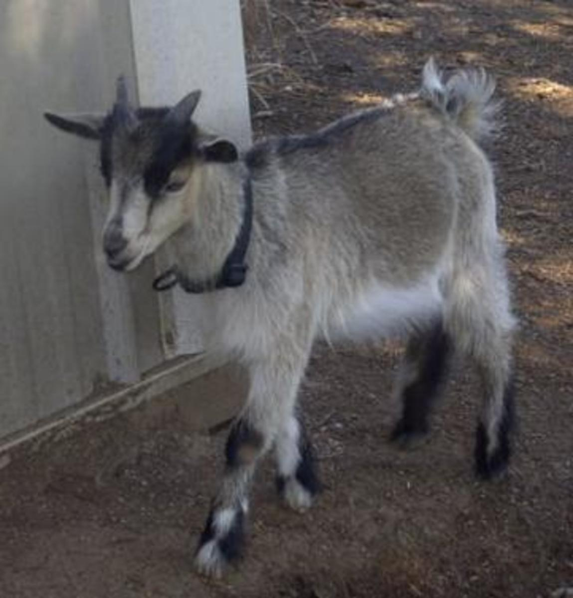 The Lovable African Pygmy Goat