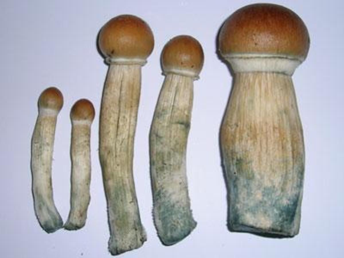 Stropharia cubensis is one of several mushroom varieties that cause hallucinations when ingested and has been used by ancient cultures for divination.