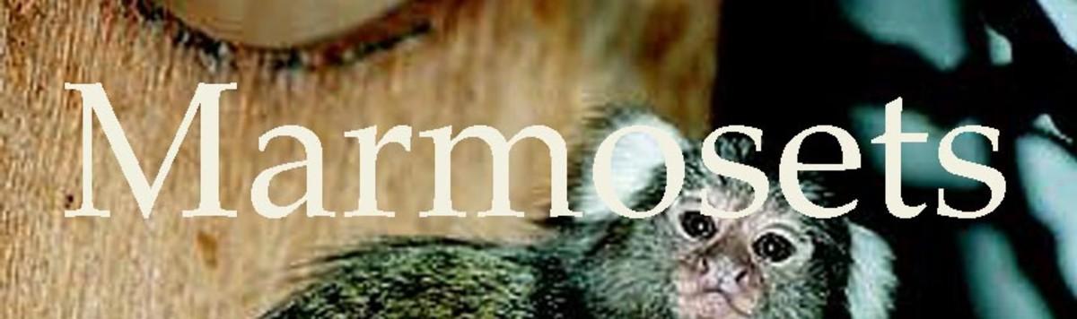 You can never get enough marmoset