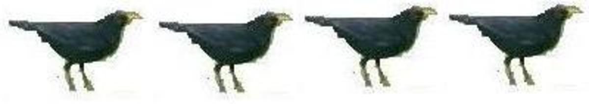 Four Collie Birds