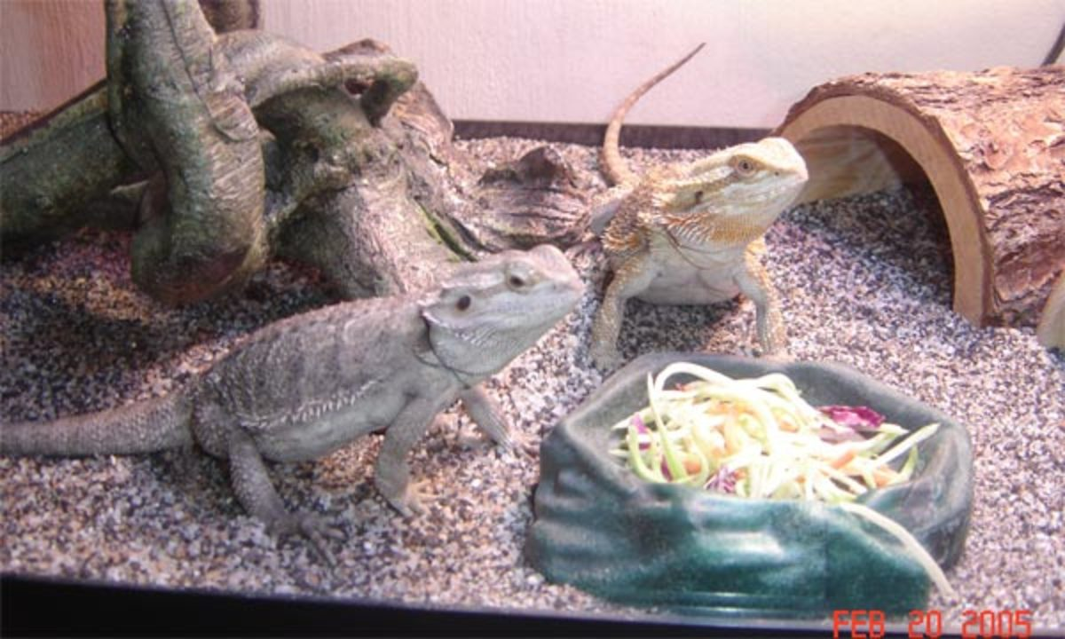 how to clean bearded dragon substrate