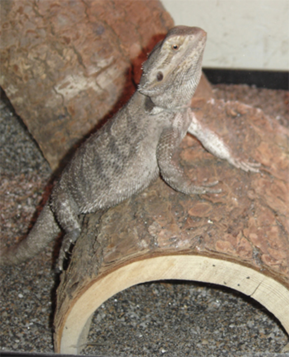 Bearded Dragon with MBD.