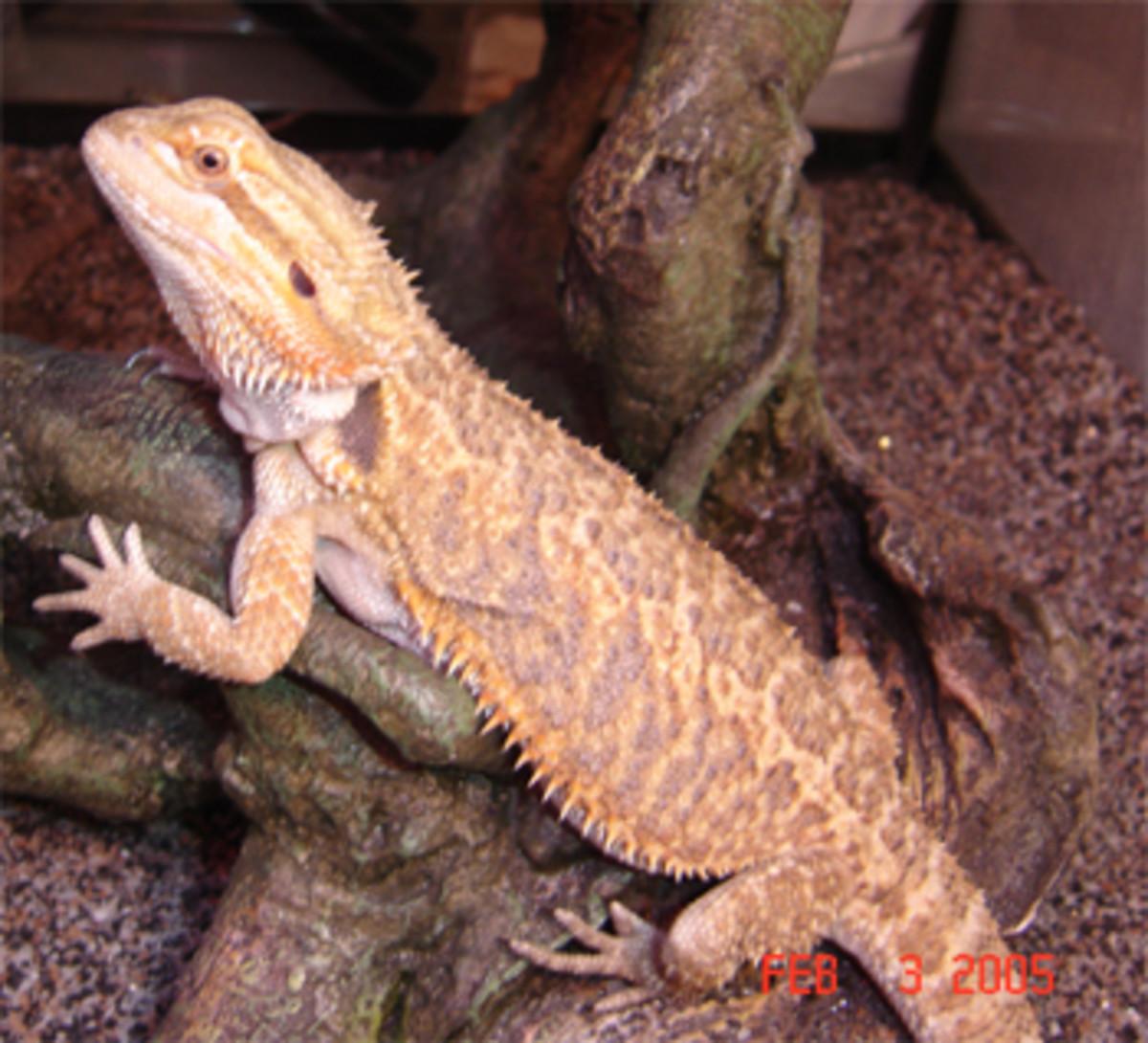 Female peach bearded dragon