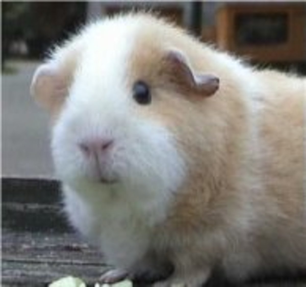 """Popcorning"" In Guinea Pigs"
