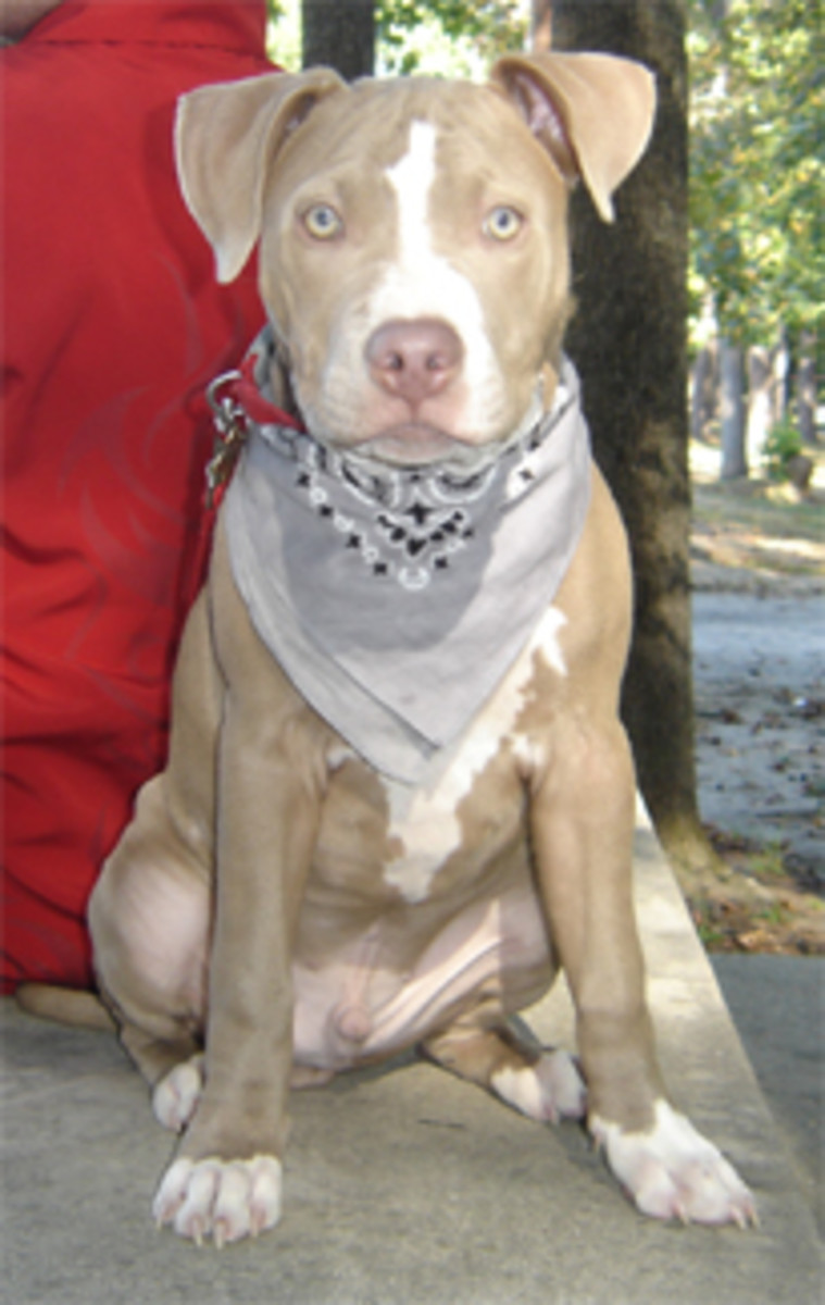 Chance, pit bull. Stolen day before Christmas Eve '06.