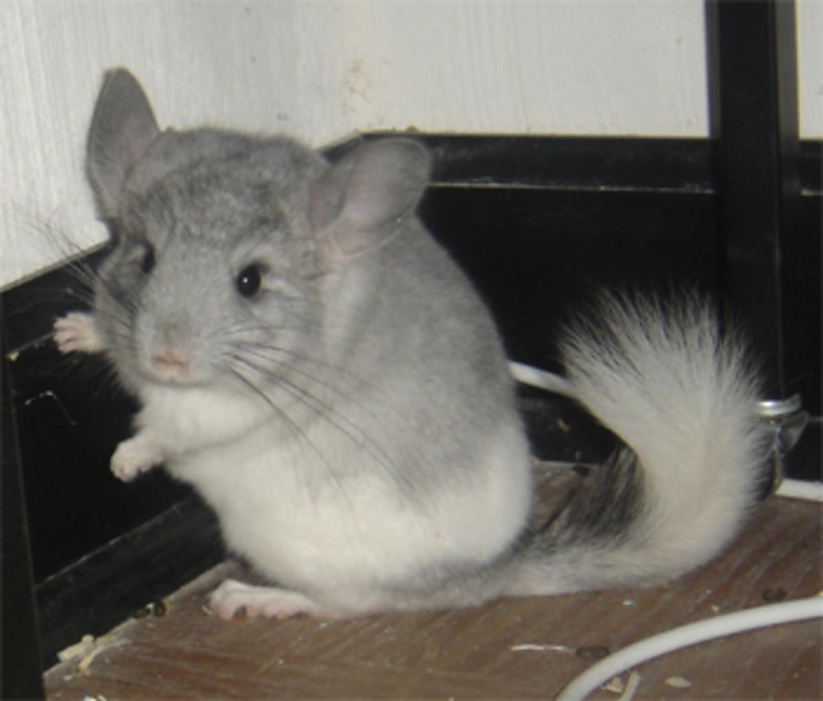 Chiko the chinchilla. Passed away 08.31.07