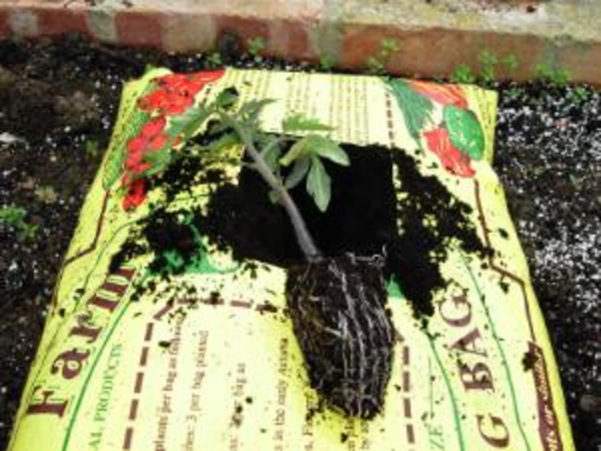 Inserting tomato plant into growing bag
