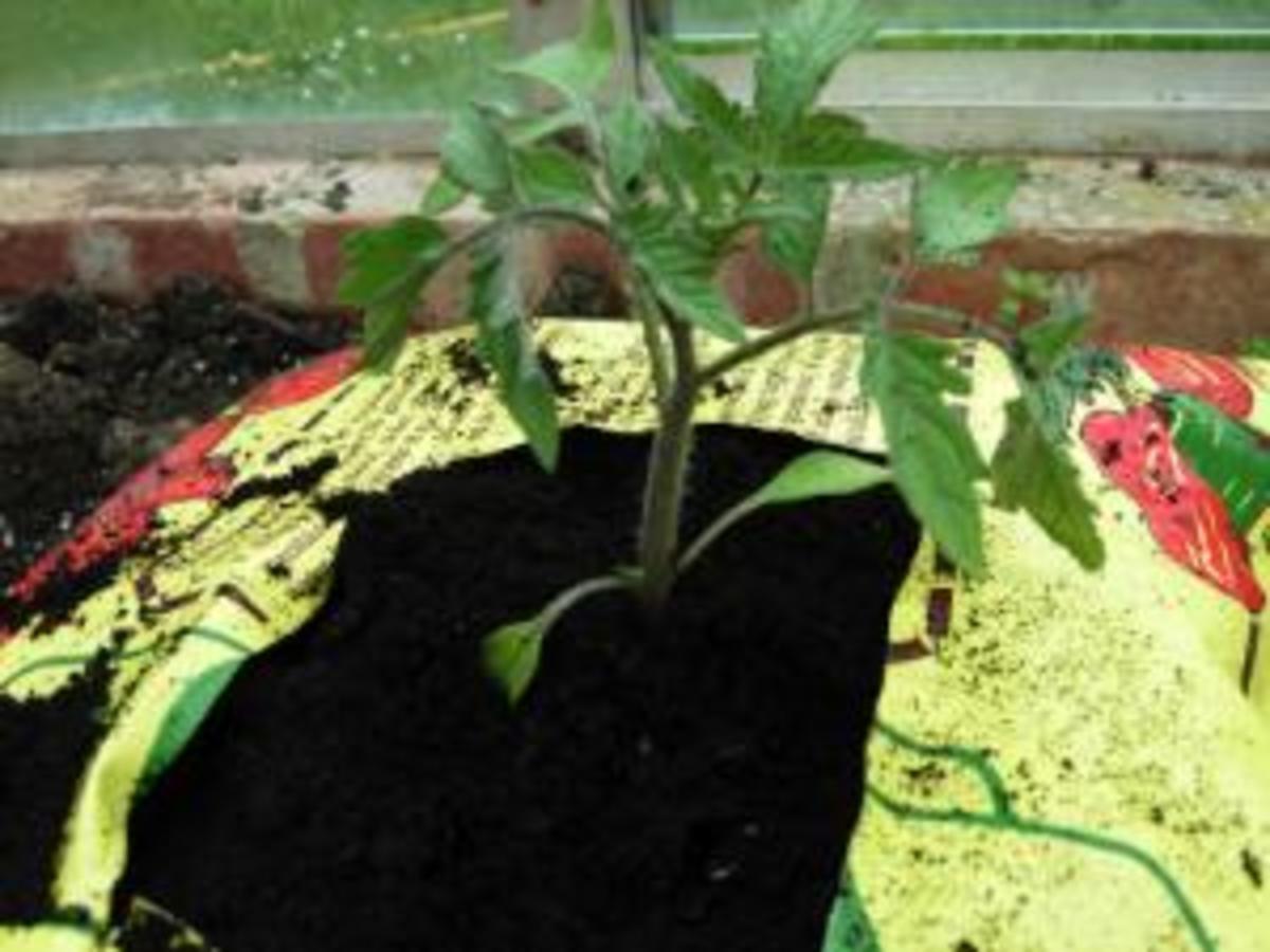 Planted tomato