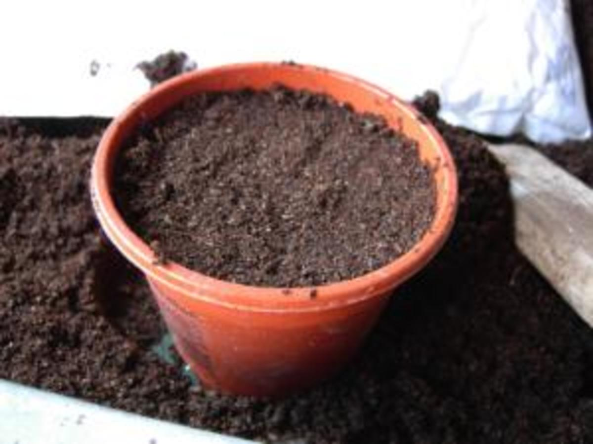 Starting tomatoes from seed in a plant pot.