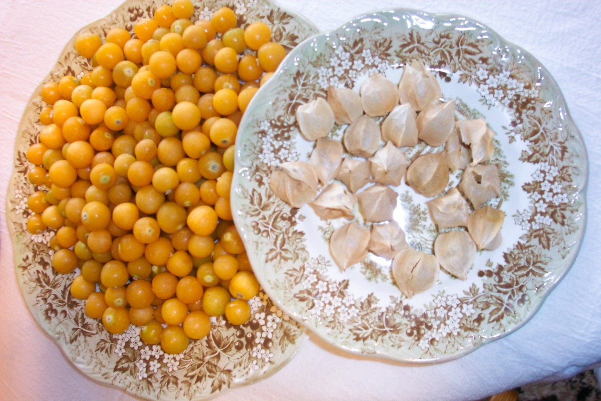 Discover the Ground Cherry