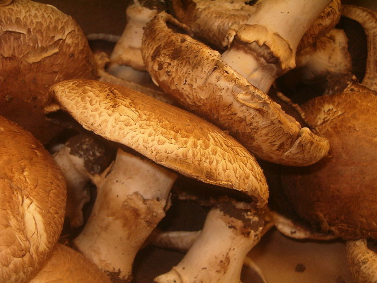 Portobello mushrooms are a cultivated mushroom that's actually a large mature cremini.