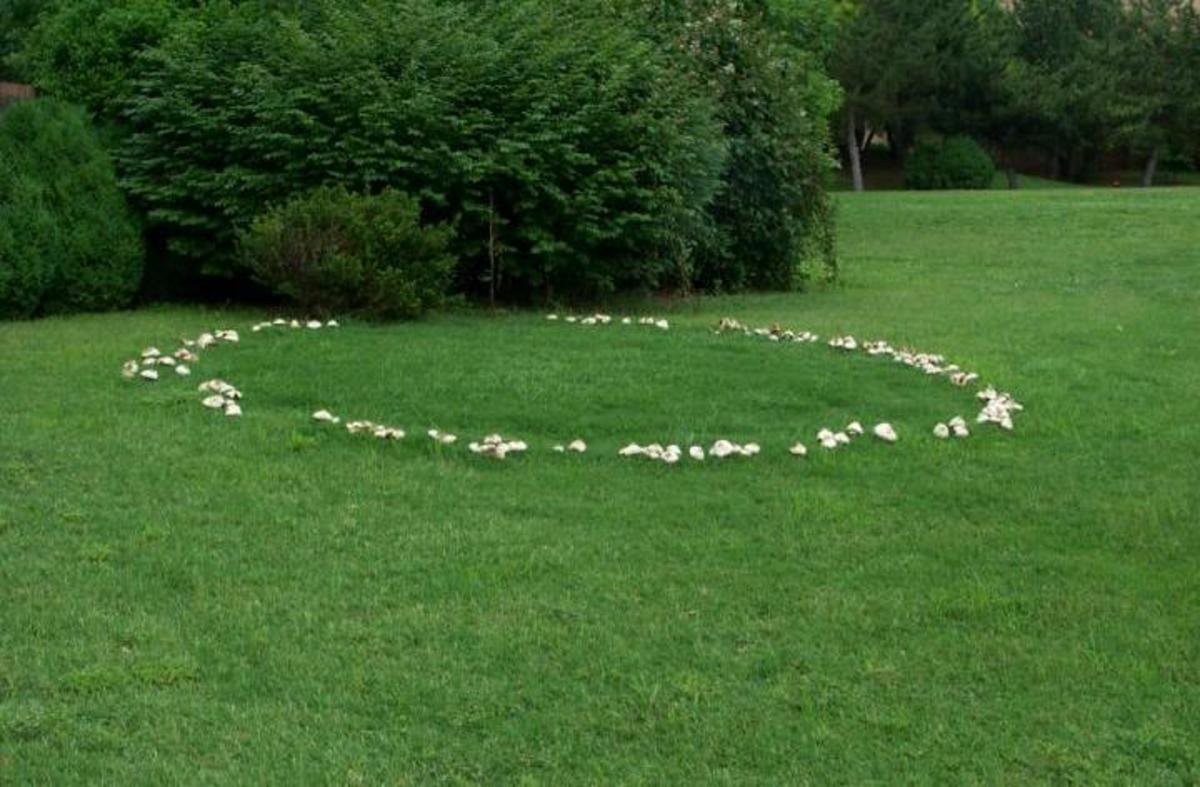 Fairy Ring Toadstools often grow in rings and where the fungus grows there is a ring of rich green grass.