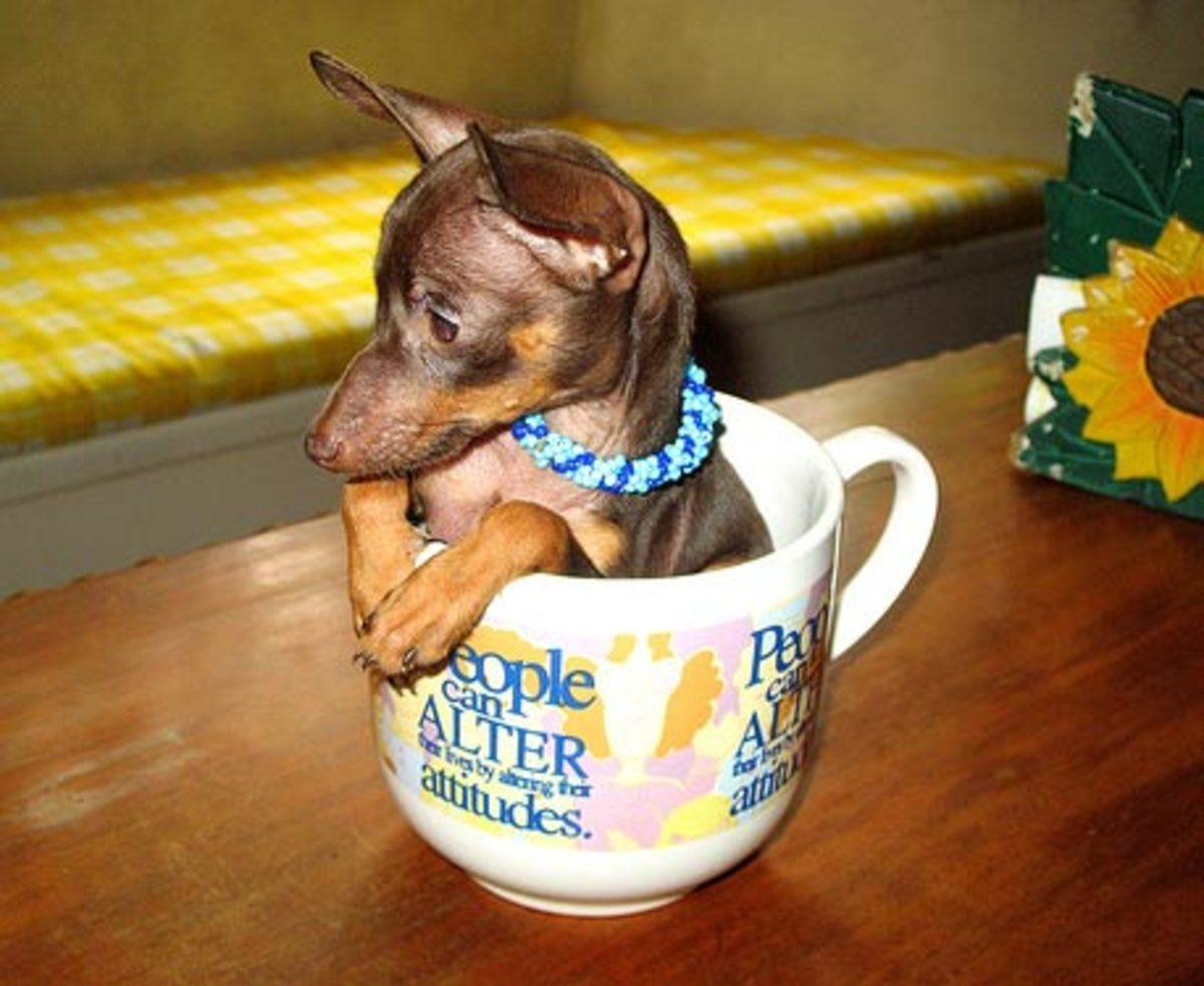 Miniature Pinscher Pup in a Teacup