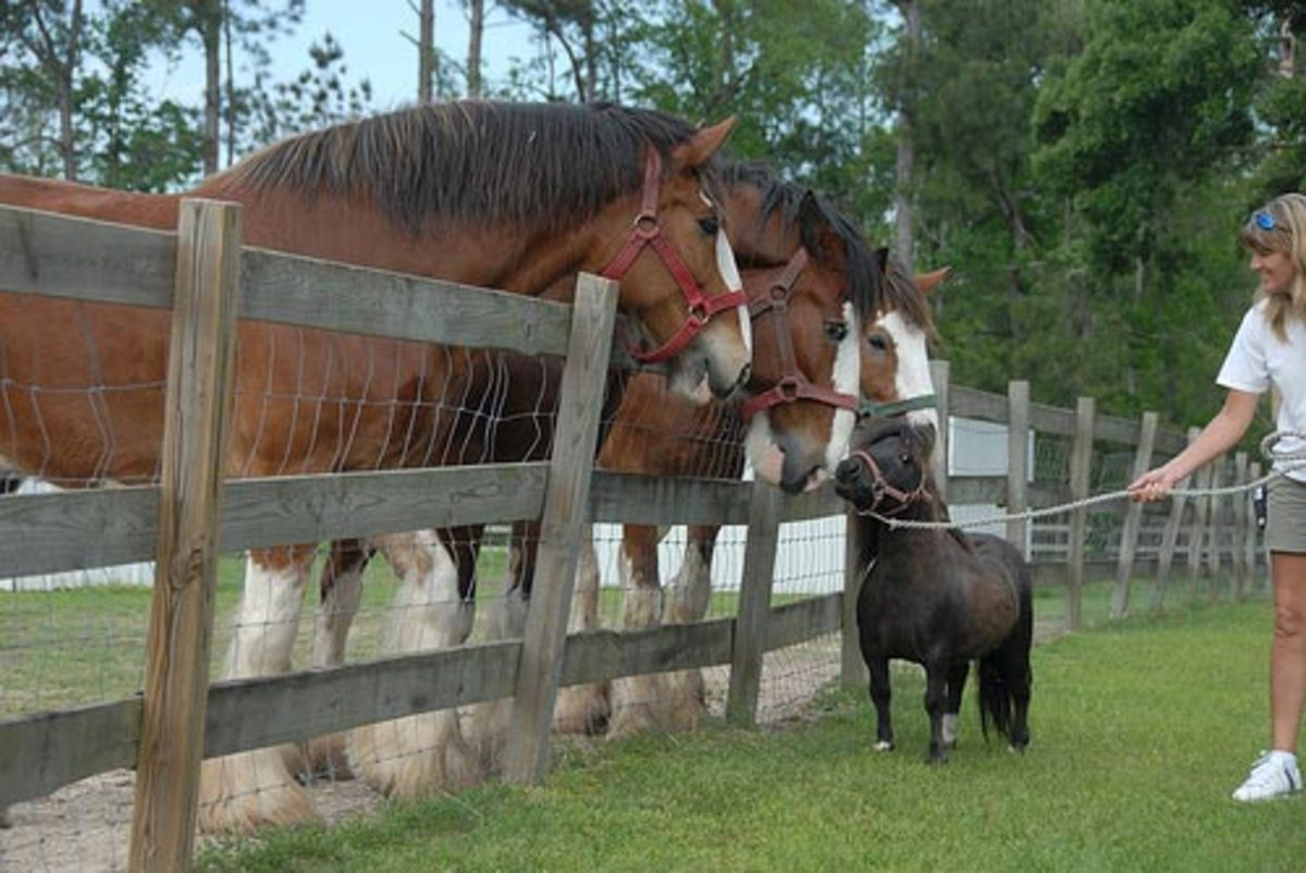 Mini Stallion and Clydesdales