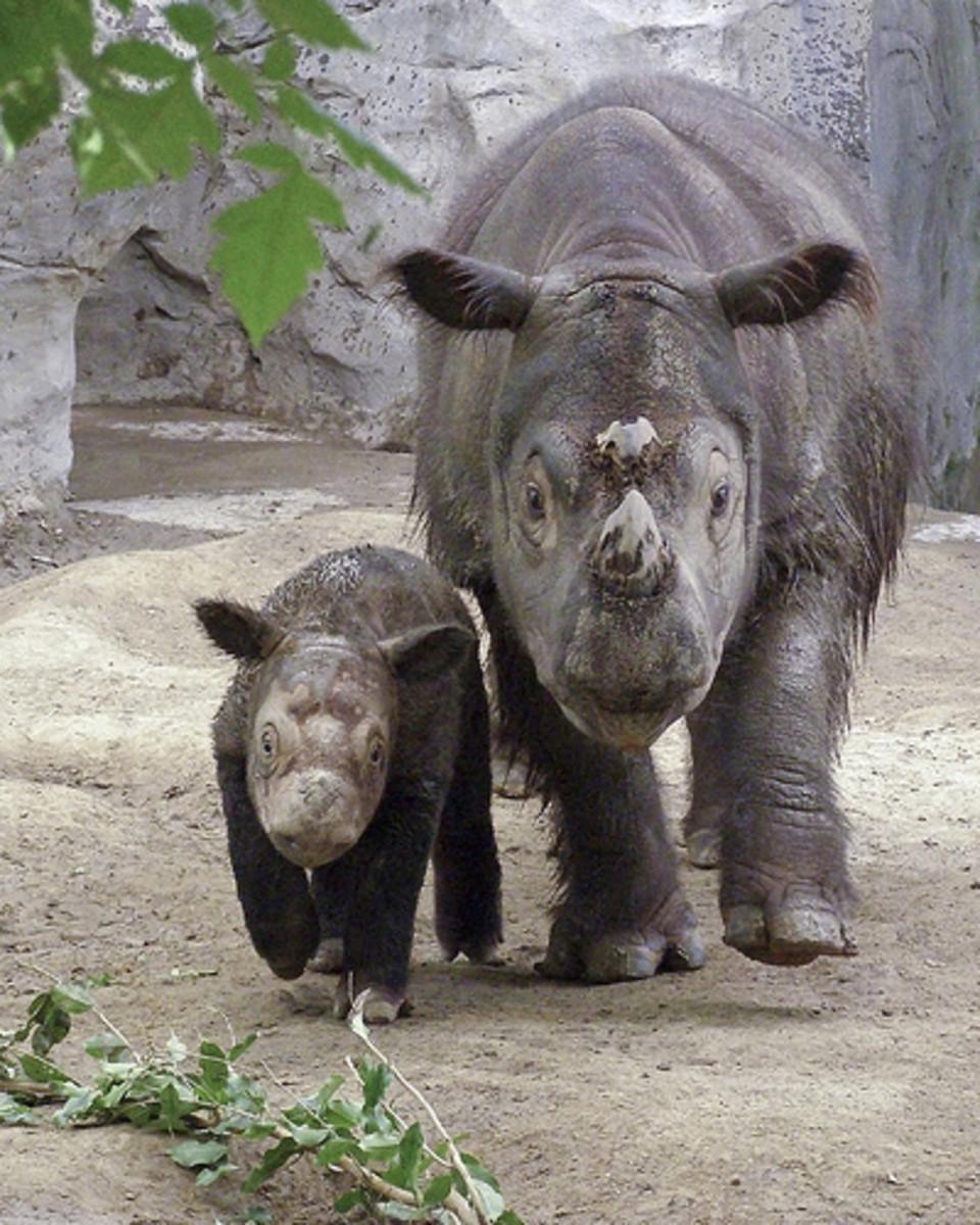 "Cincinnati ZOO - Emi the Sumatran Rhino with her unprecedented third calf ""Harapan"" ( male) ."