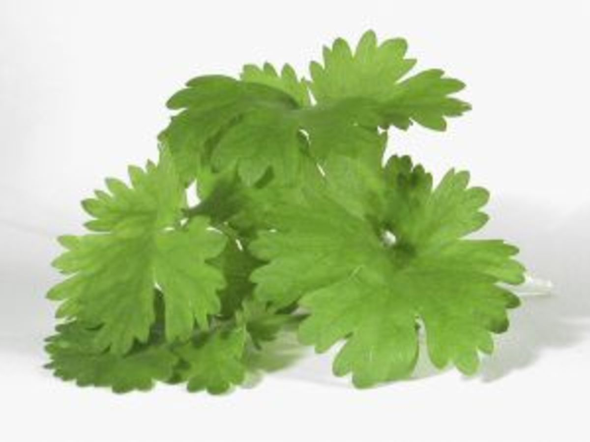 Cilantro - my favorite herb