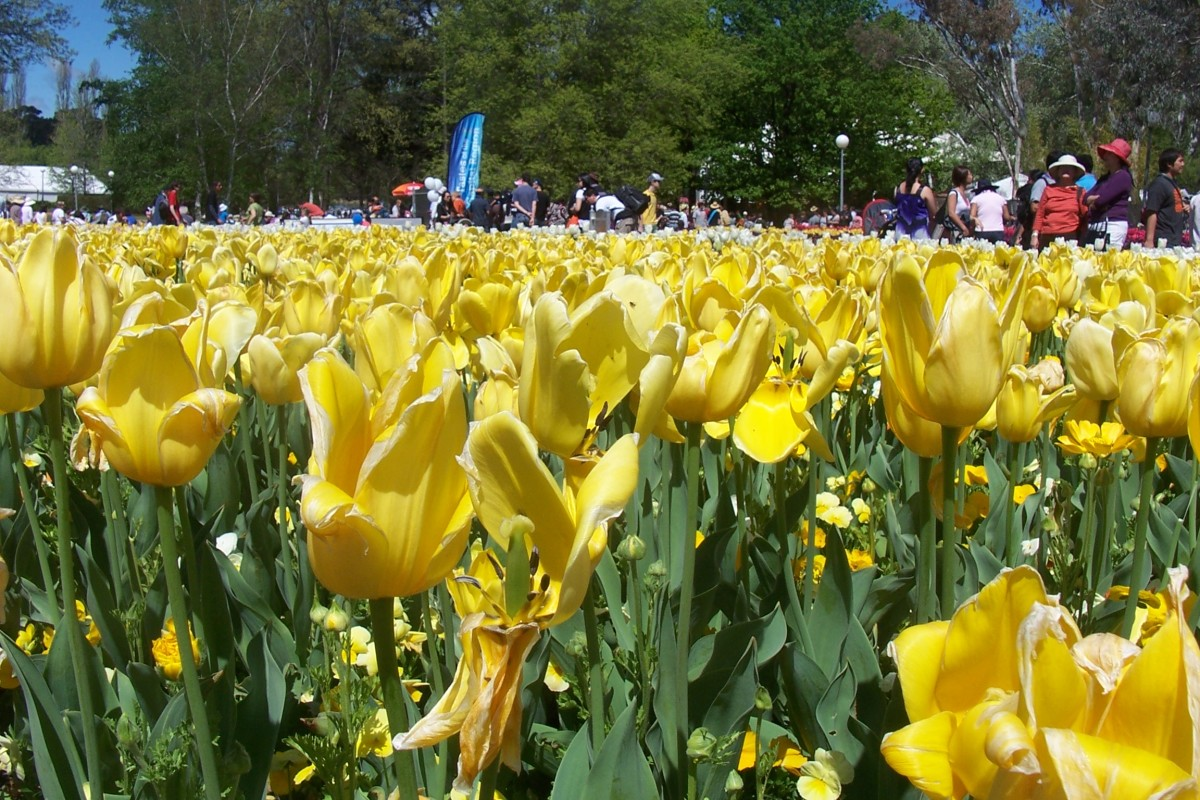 Beautiful Yellow Tulips taken at the Floriade, Canberra, Australia